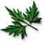 fools_parsley_leaves_64x64.png.(6670)
