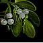 mistletoe_64x64.png.(6680)